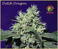 dutchdragon