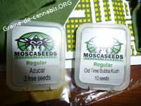 graines mosca seeds