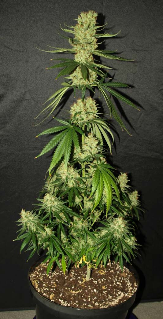 Silver haze 9 for Graine cannabis femelle exterieur
